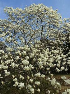 ハクモクレンの樹形(出展「季節の花300」)