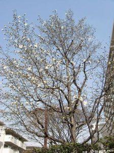コブシの樹形(出展「季節の花300」)